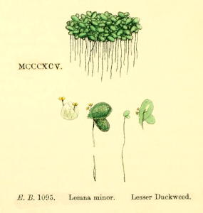 Lemna minor (Rzęsa drobna)
