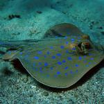 Bluespotted stingray Ogończa nakrapiana